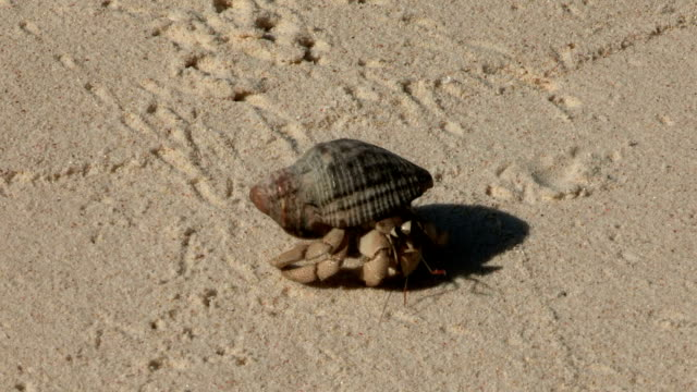 a hermit crab scuttles across the sand leaving little tracks. - hermit crab stock videos & royalty-free footage