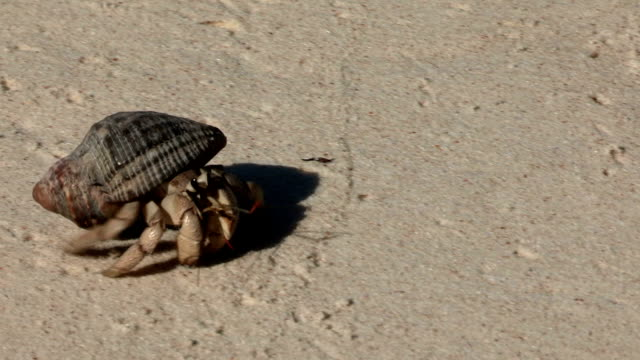 a hermit crab scuttles across the sand. - hermit crab stock videos & royalty-free footage