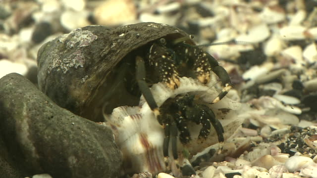 Hermit Crab Seeking For An Empty Shell To Live