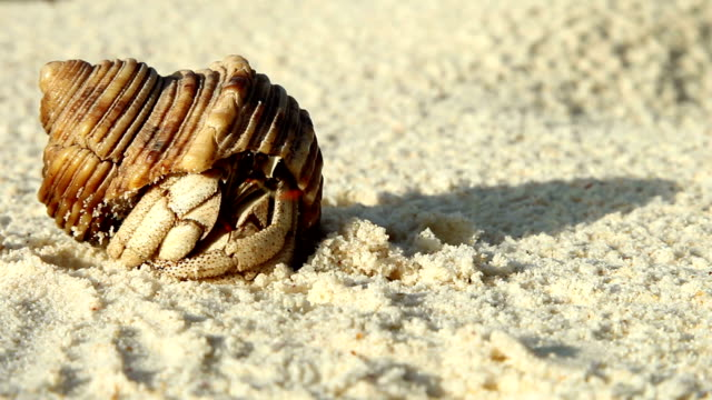 a hermit crab slowly emerges from its shell on a sandy beach. - hermit crab stock videos & royalty-free footage