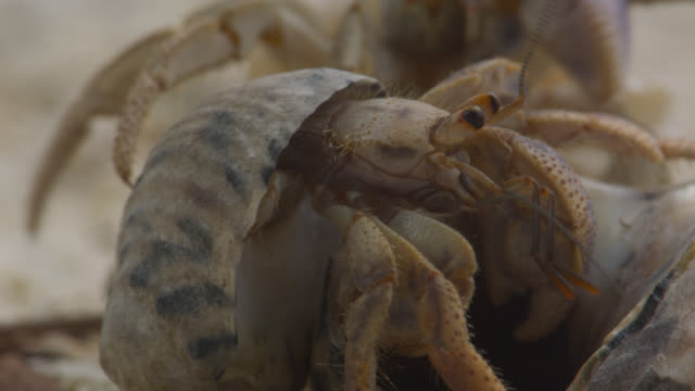 hermit crab swaps shells, belize - crab stock videos & royalty-free footage