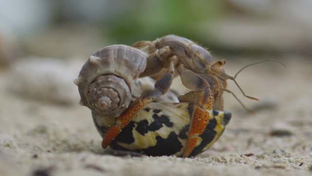 hermit crab swaps shells, belize - animal shell stock videos & royalty-free footage