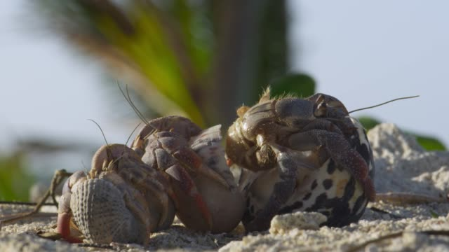 hermit crab swaps shells on beach, belize - exchanging stock videos & royalty-free footage