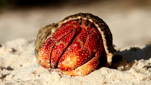 a hermit crab unfurls its pincers as it emerges from its shell on a beach. - seychelles stock videos & royalty-free footage