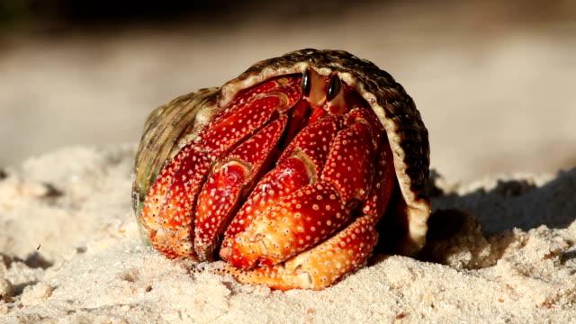 vídeos y material grabado en eventos de stock de a hermit crab unfurls its pincers as it emerges from its shell on a beach. - seychelles