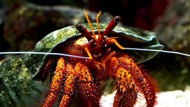 hermit crab - crab stock videos and b-roll footage