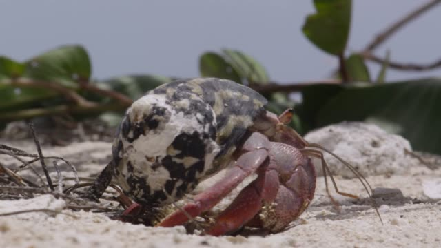 hermit crab walks away on beach, belize - crab stock videos & royalty-free footage