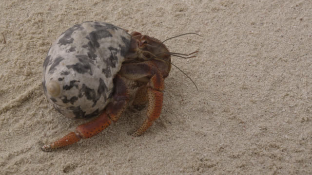 hermit crab walks on beach, belize - crab stock videos & royalty-free footage