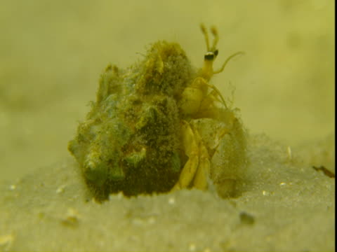 stockvideo's en b-roll-footage met a hermit crab waves its antennae as it sits on a sandy seabed. - voelspriet