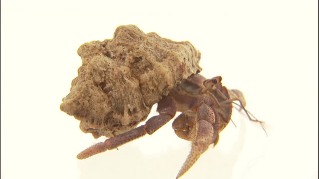a hermit crab wiggles its antennae as it slowly crawls on a white surface. - animal antenna stock videos & royalty-free footage