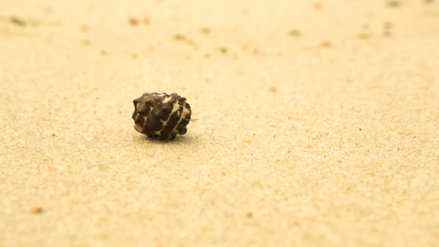 hermit crabs can not go, just wait - conch stock videos & royalty-free footage