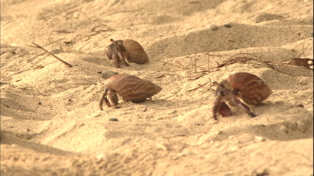 hermit crabs crawl across sand on a beach at chichi-jima island in japan. - hermit crab stock videos & royalty-free footage