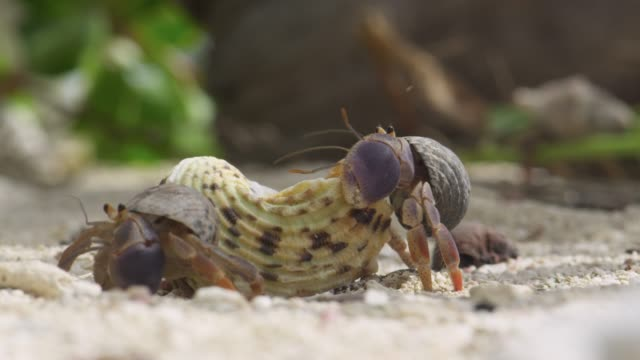 hermit crabs examine new shell on beach, belize - crab stock videos & royalty-free footage