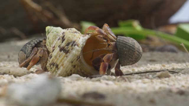 hermit crabs examine new shell on beach, belize - hermit crab stock videos & royalty-free footage