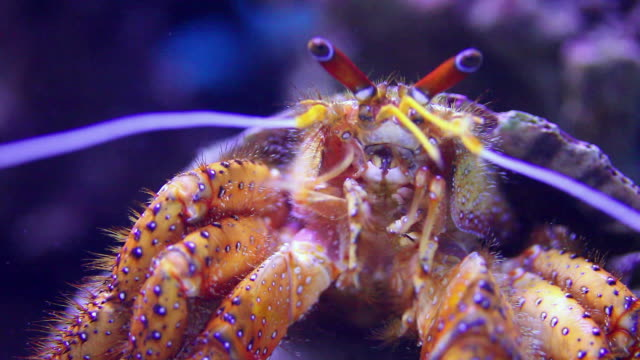 cu hermit crab's face / honolulu, hawaii, united states - crab stock videos & royalty-free footage