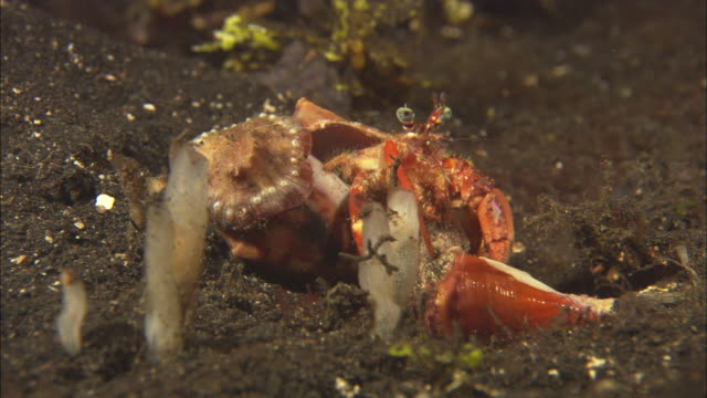hermit crabs, fighting, one leaves, indonesia  - hermit crab stock videos & royalty-free footage