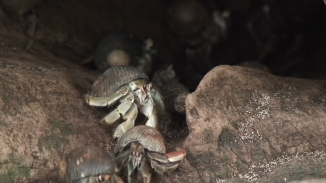 hermit crabs in trunk - hermit crab stock videos & royalty-free footage