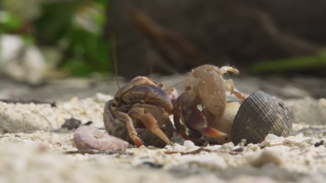 hermit crabs swap shells on beach, belize - hermit crab stock videos & royalty-free footage