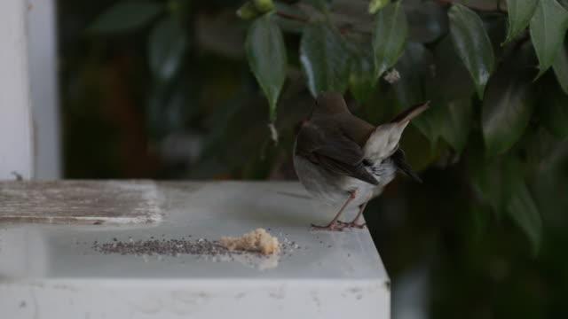 hermit thrush - thrush stock videos & royalty-free footage