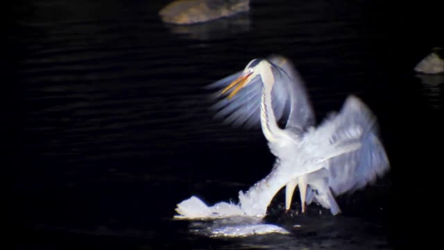 heron and egret fighting over a food site - egret stock videos & royalty-free footage