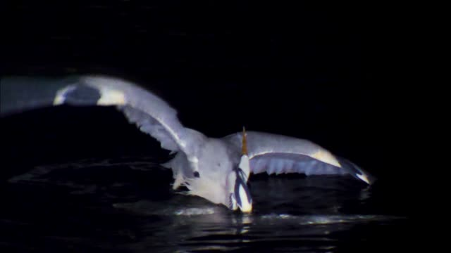 heron attacking an egret - egret stock videos & royalty-free footage