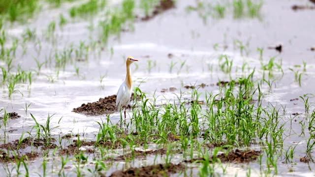 heron bird in sorghum - sorghum stock videos & royalty-free footage