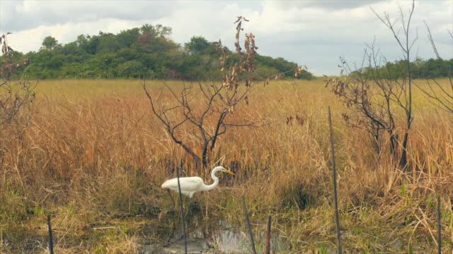 Heron Bird in south Florida Swamp