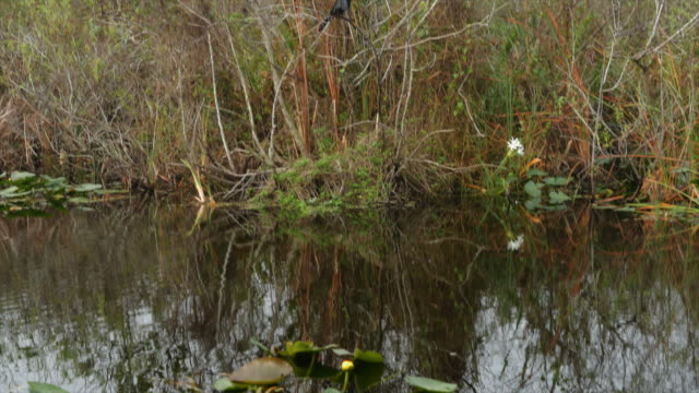 Heron Bird in south Florida Swamp