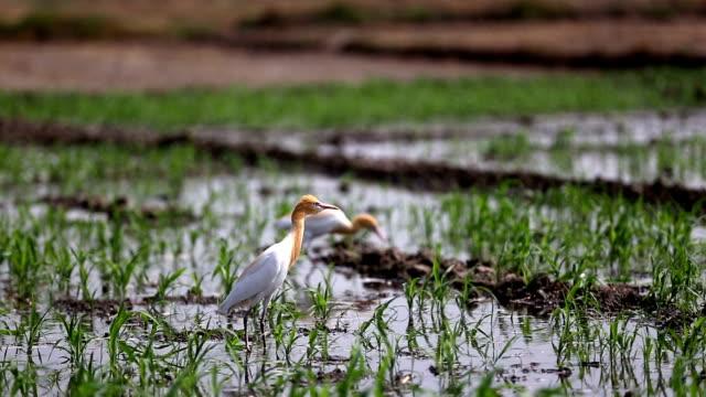 heron birds in sorghum crop - sorghum stock videos & royalty-free footage