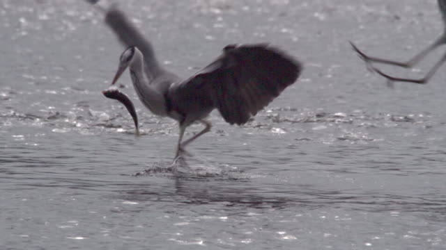 heron (endangered species) catching prey and the other heron trying to steal it - bunter reiher stock-videos und b-roll-filmmaterial