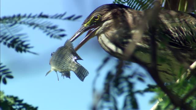 cu heron eating tilapia / palo verde, guanacaste, costa rica - heron stock videos & royalty-free footage