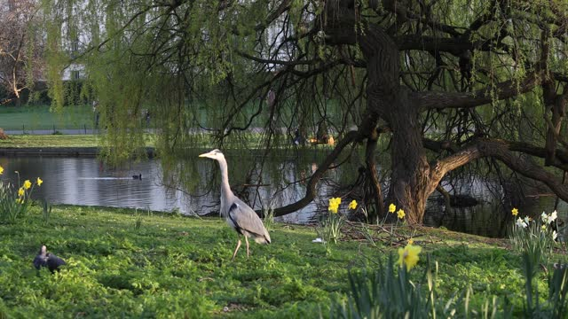 heron enjoys the spring sunshine in regents park on march 29, 2021 in london, united kingdom. today the government eased its rules restricting... - aquatic organism stock videos & royalty-free footage