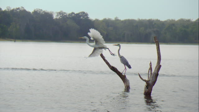 heron flying at kabini river - bunter reiher stock-videos und b-roll-filmmaterial