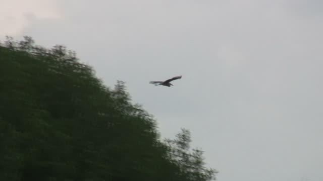 stockvideo's en b-roll-footage met heron flying - hd 1080/60i - reiger