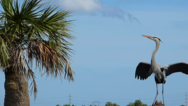 heron flying sein nest - bunter reiher stock-videos und b-roll-filmmaterial