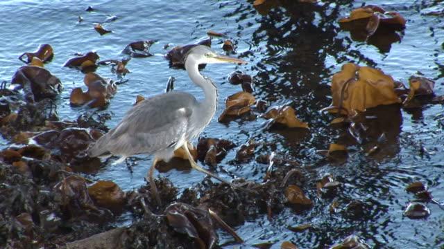 vídeos de stock, filmes e b-roll de heron (ardea cinerea) forages. tobermory. mull. uk. 22/07/08 - ilha mull