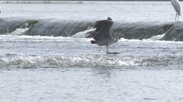 a heron hunting a mullet in the river upstream - meeräsche stock-videos und b-roll-filmmaterial