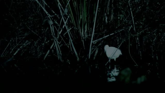 vídeos de stock, filmes e b-roll de heron caça em um lago, à noite - pântano