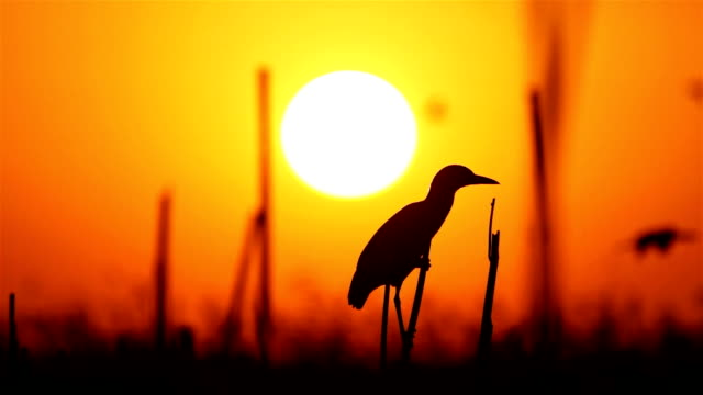 heron on sunrise - egret stock videos and b-roll footage
