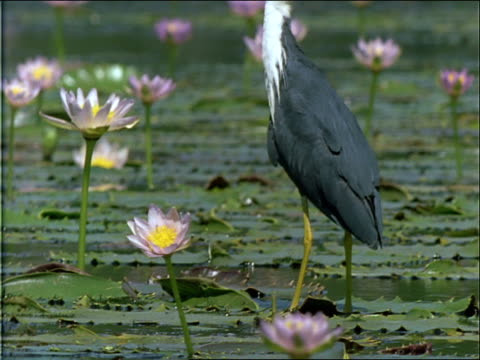 a heron pecks at the water while standing on a lily pad. - 水生植物点の映像素材/bロール