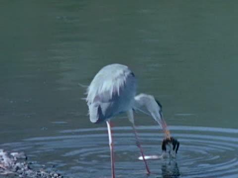 heron picking up hatchling at water's edge. crocodile in water heron w/ hatchling in beak. - 動物の口点の映像素材/bロール