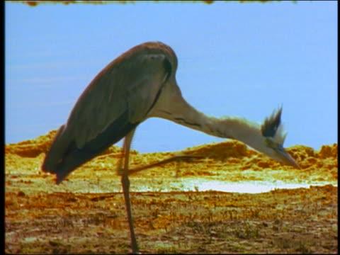 heron scratching by watering hole - aquatic organism stock videos & royalty-free footage