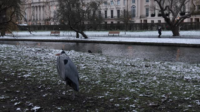 heron seen on the bank of the lake in a snow covered regents park on february 9, 2021 in london, england. heavy snow brings a week of freezing... - aquatic organism stock videos & royalty-free footage