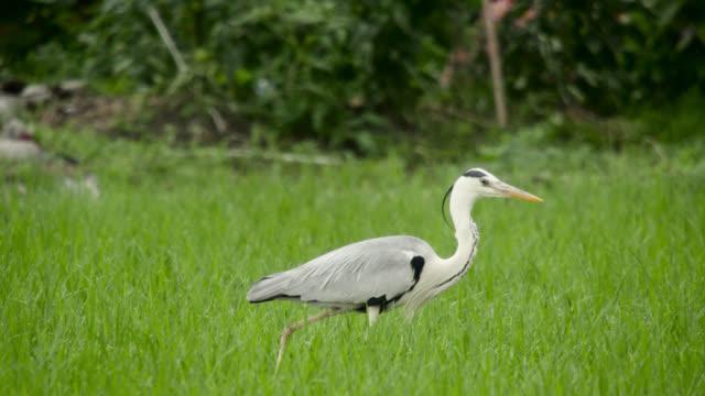 heron stalks through paddy field, japan. - heron stock videos & royalty-free footage