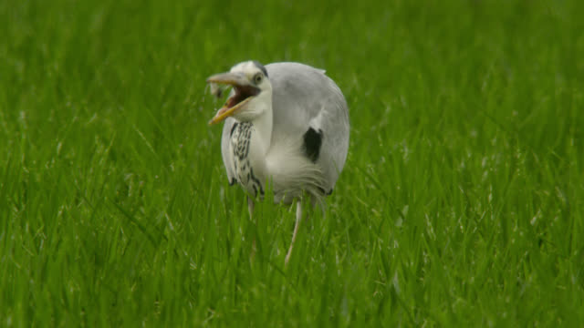 heron stalks through paddy field, japan. - feeding stock videos & royalty-free footage