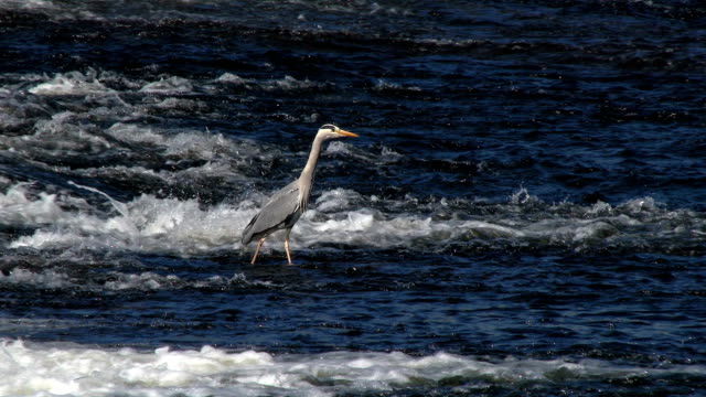 Heron standing in a fast flowing Scottish river