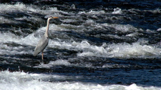 Heron standing in fast flowing water of the River Nith