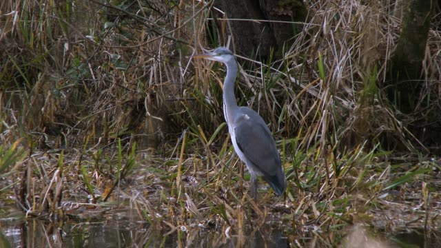 heron standing on reeds next to a scottish loch in south west scotland - johnfscott video stock e b–roll