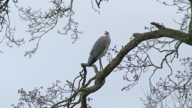 heron standing on tree branch next to a scottish loch in south west scotland - johnfscott video stock e b–roll