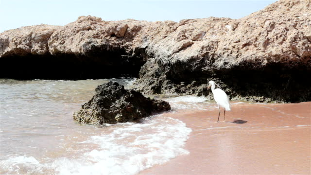 heron stands on the shore of the red sea. egypt. - heron stock videos & royalty-free footage